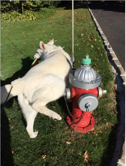 Dog peeing on fire hydrant
