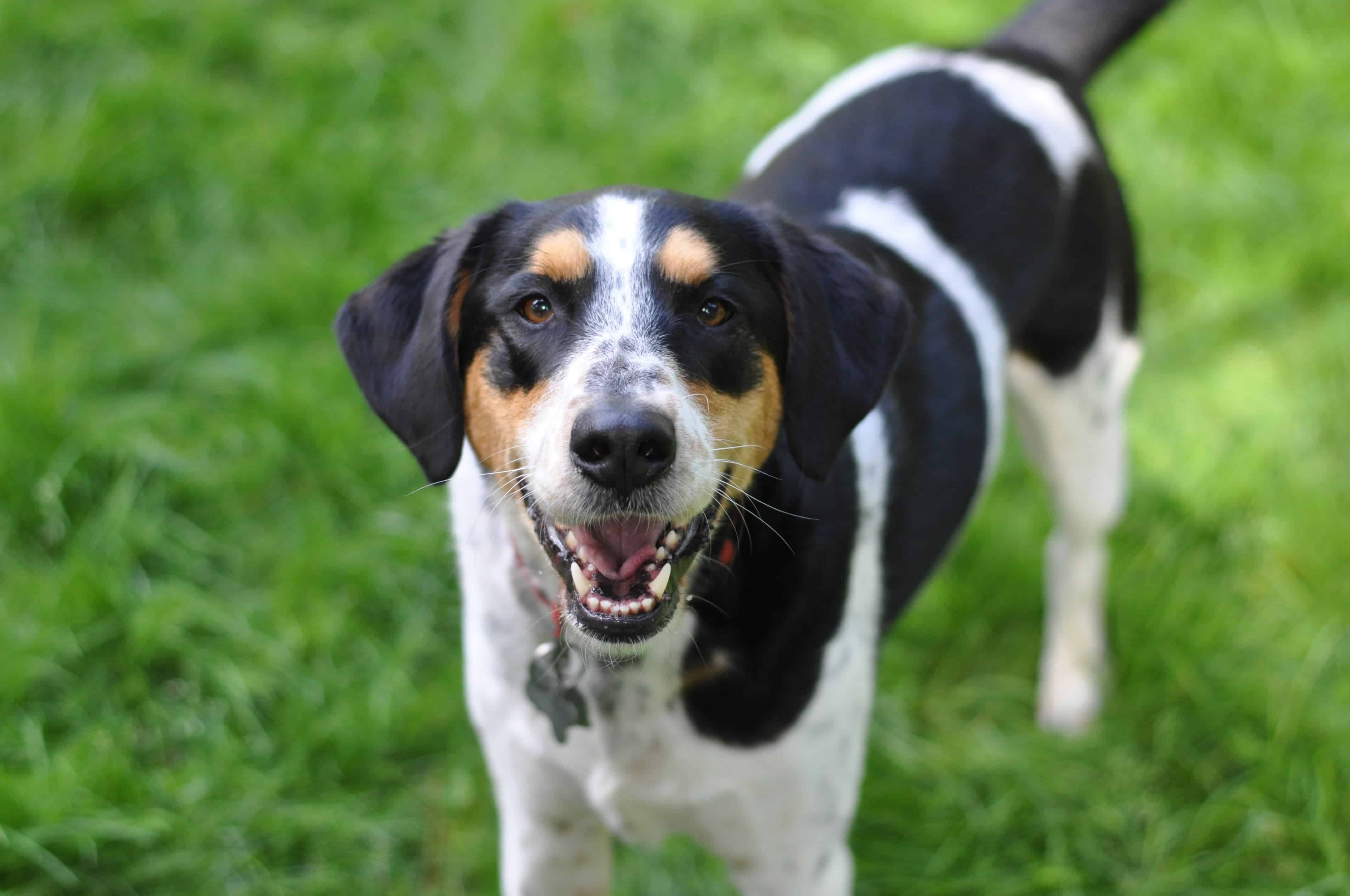 Smiling dog looking at the camera with green grass in the background.