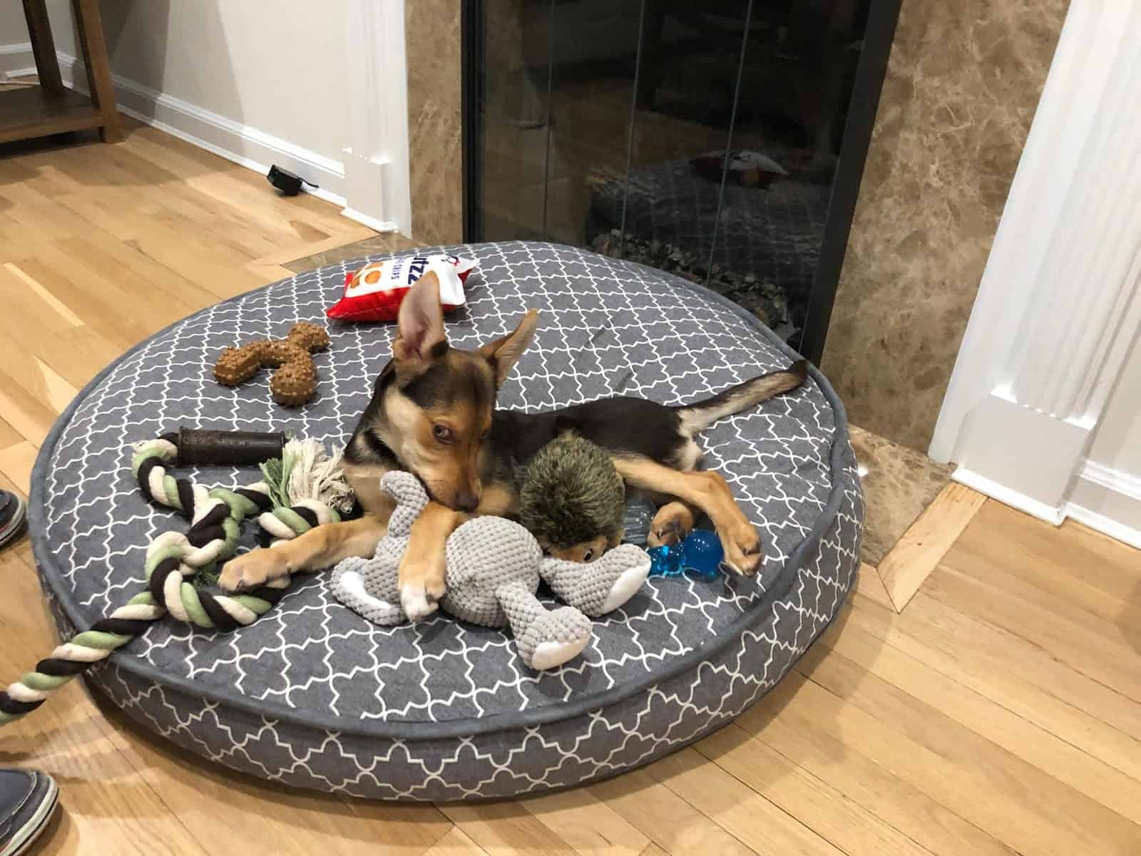 Dog lying on dog bed displaying possesive behavior with toys.