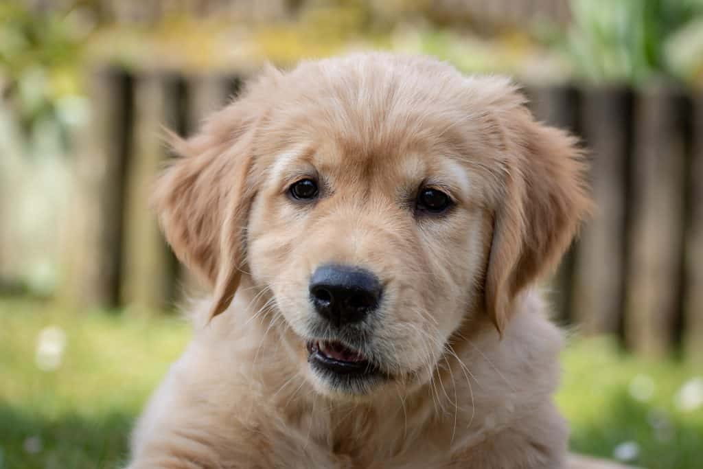 Puppies are extremely cute but can also be destructive. It is essential to puppy proof in order to protect your puppy and your posessions!