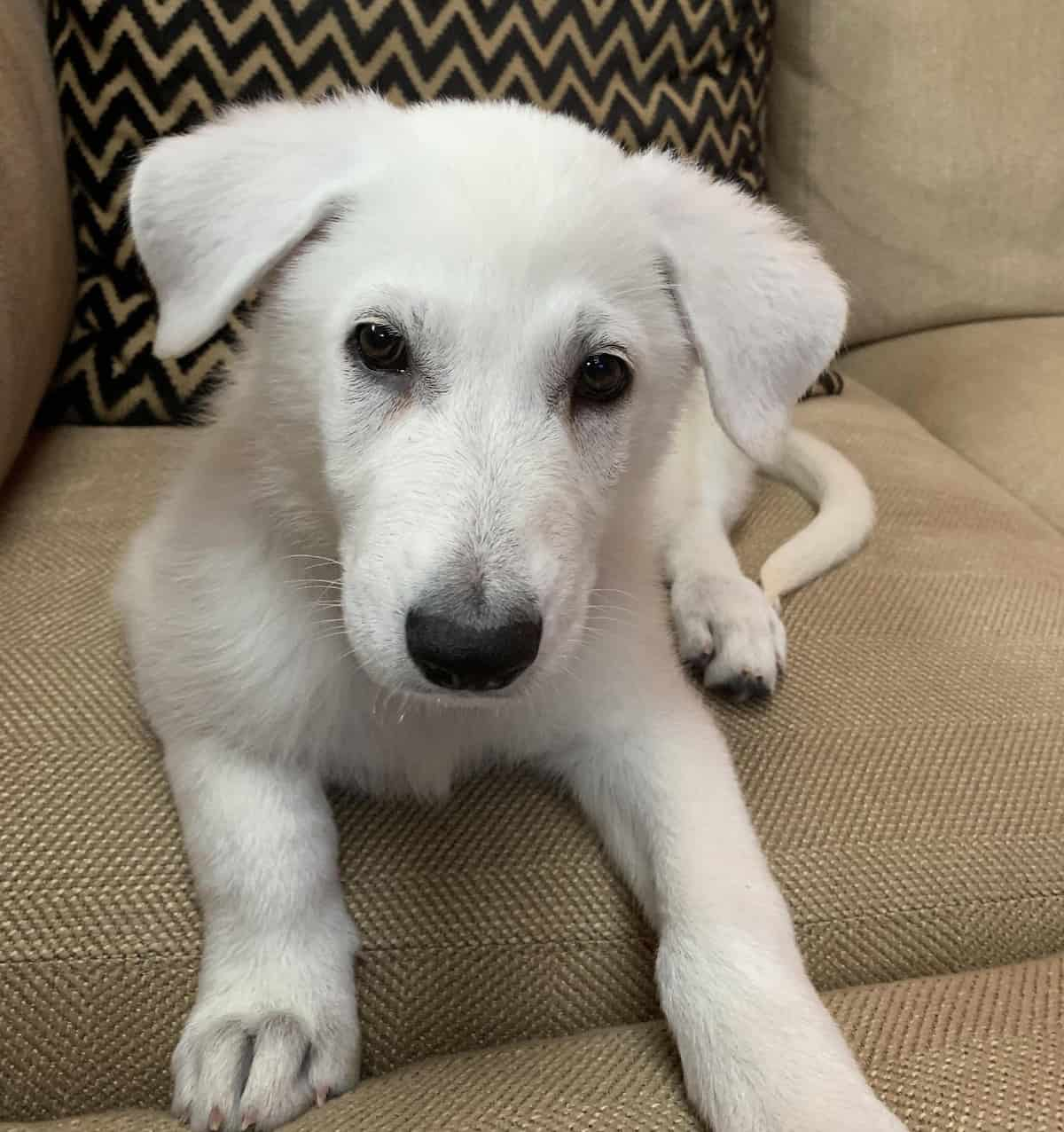 A puppy on a couch looking at the camera