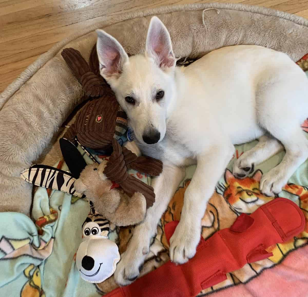 A young puppy in a dog be with toys