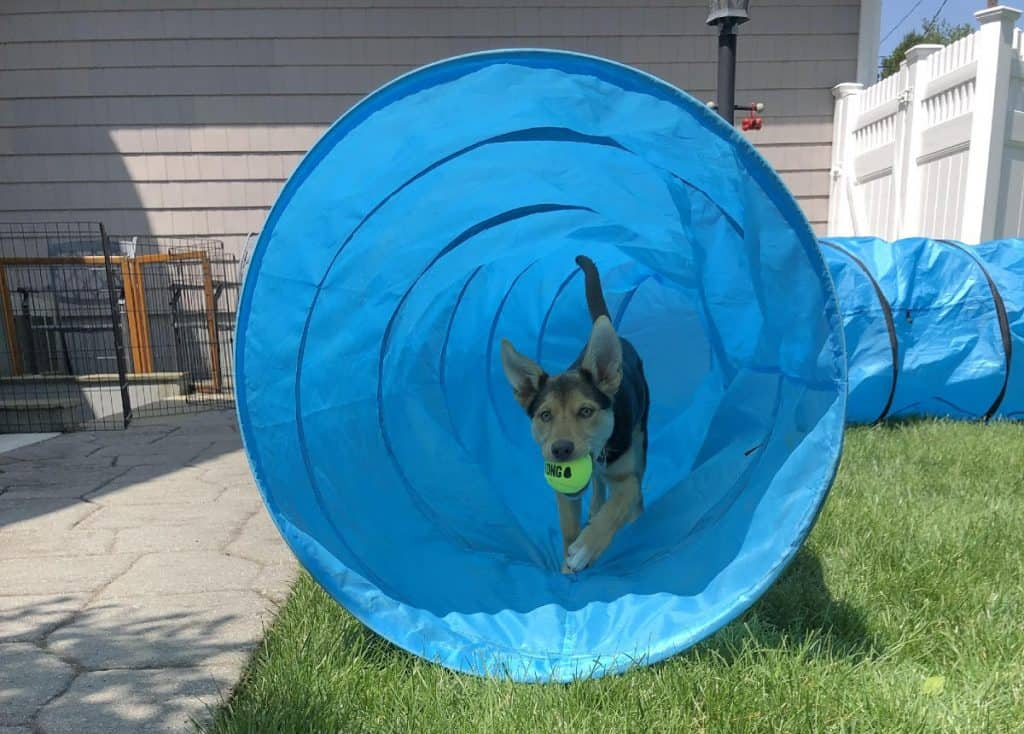 A puppy running through an agility tunnel