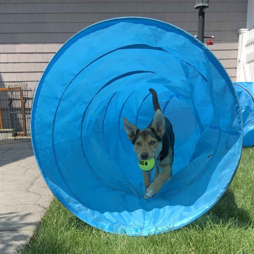 A puppy running through an agility tunnel