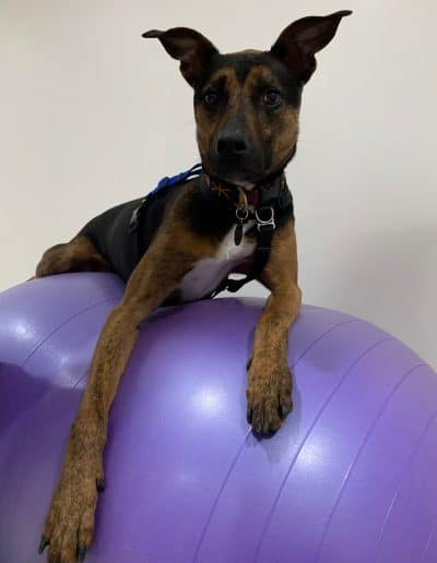 Gerber the dog on top of a purple ball