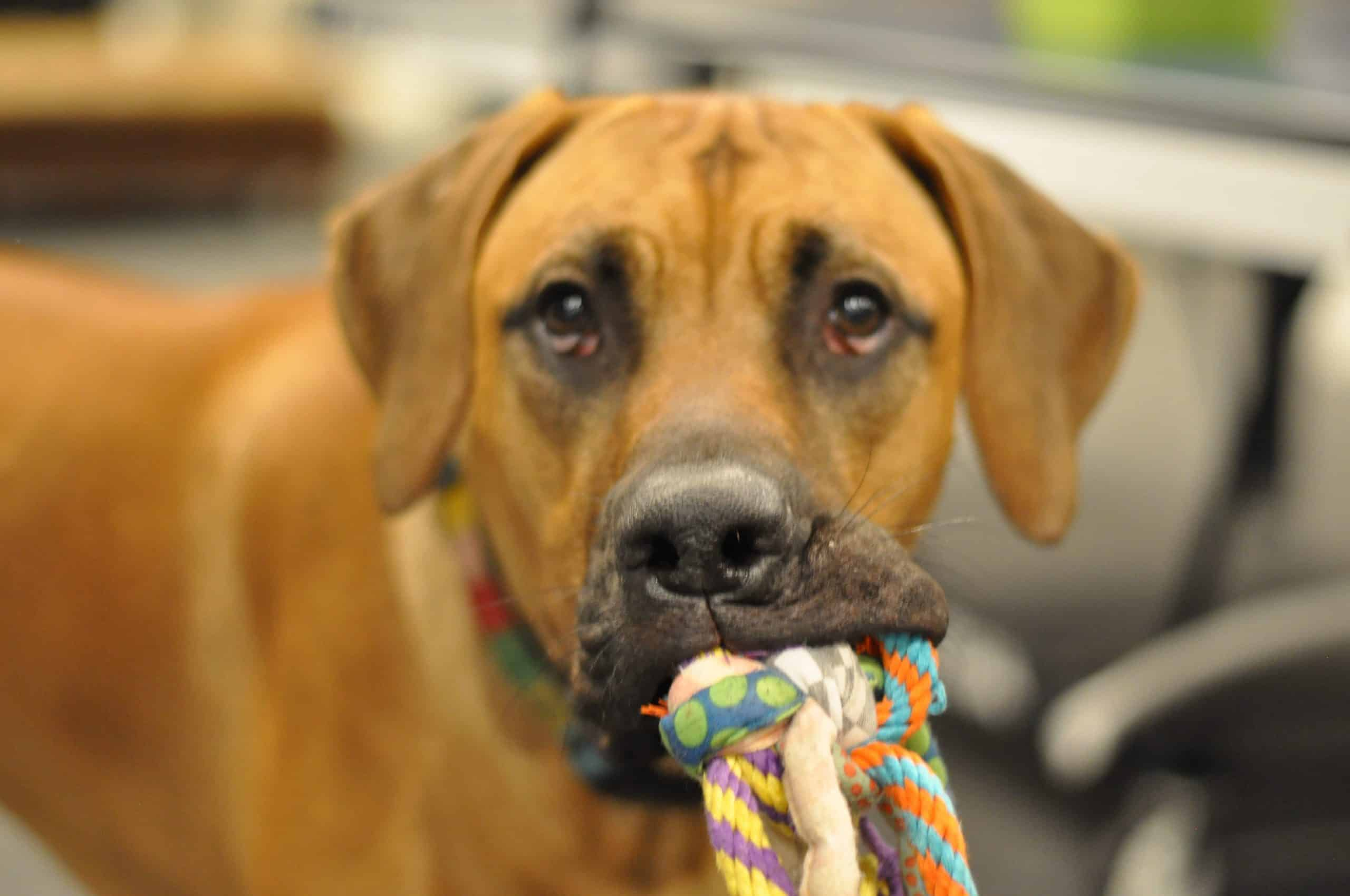 Dog with a toy in its mouth looking at the camera