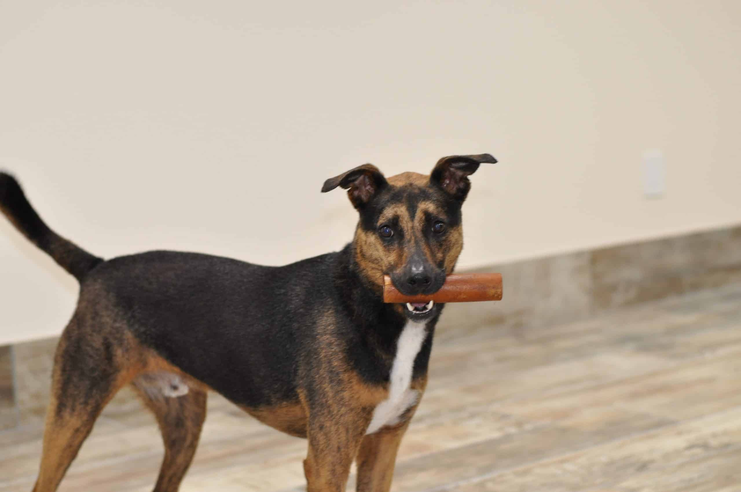 dog with bone in behavior modification training