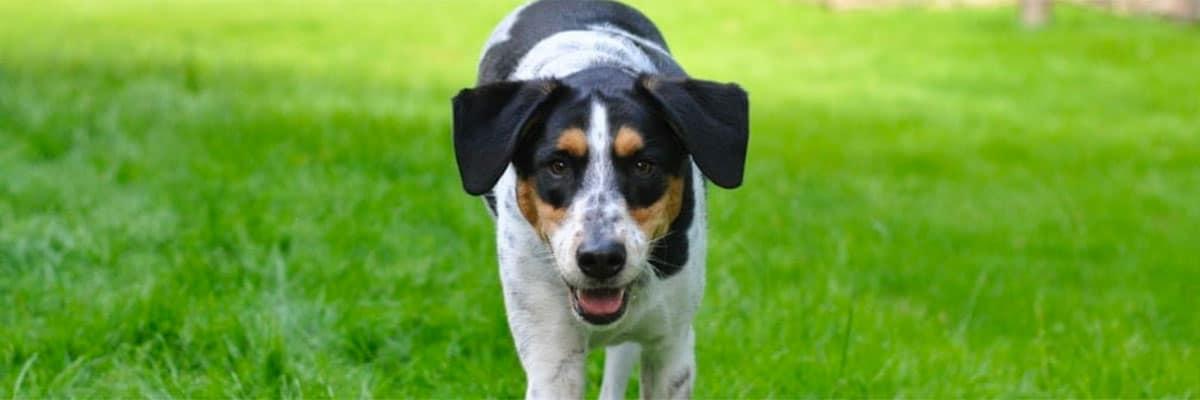 dog running towards camera on grass